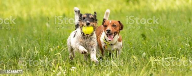 Two small jack russell terrier are running and playing together in picture id1130368577?b=1&k=6&m=1130368577&s=612x612&h=whlgldi62xec06yuwer7yjhtt2daarh6nmhuzel1tjc=