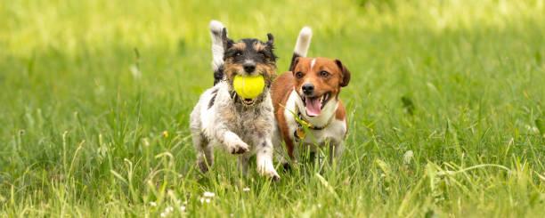 Two small jack russell terrier are running and playing together in picture id1130368577?b=1&k=6&m=1130368577&s=612x612&w=0&h=hgsq3zdij83s4ijy1y askmirxre5ldin4 lauvwqny=