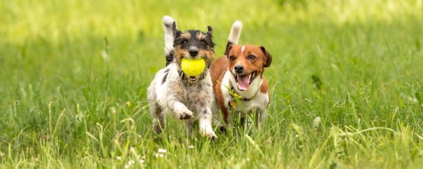 Zwei kleine Jack Russell Terrier sind laufen und spielen zusammen auf der Wiese mit einem ball – Foto