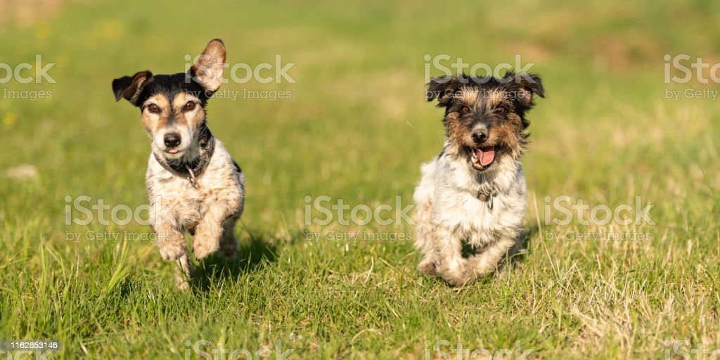 Two Small Jack Russell Terrier Dogs Are Running Across A Green Meadow And Have A Lot Of Fun Stock Photo Download Image Now Istock