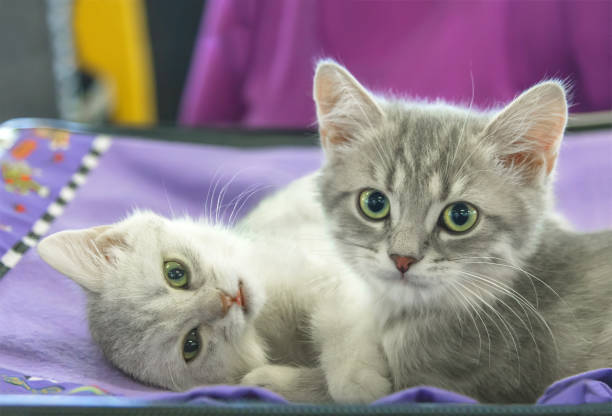 Two small kitten scottish straight picture id952014936?b=1&k=6&m=952014936&s=612x612&w=0&h=z959n4ew 2i55urvcusmofliuugyv 4yuz4l8ocnoak=