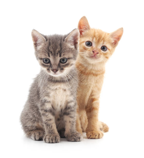 Two small kittens picture id877164378?b=1&k=6&m=877164378&s=612x612&w=0&h=6gpnbhm3crwsq6koiqprye5rexvhuqvii4mfy8zwpyq=