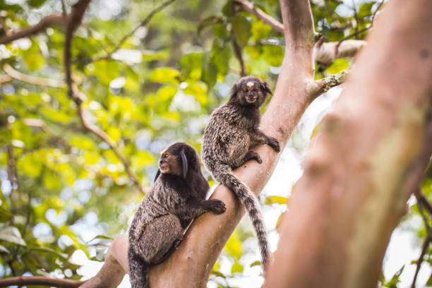 two small monkeys native to areas of Atlantic Forest. animal at risk of extinction two small monkeys native to areas of Atlantic Forest seen in the city of Rio de Janeiro. This monkey is called Mico Estrela. Species threatened with extinction. marmoset stock pictures, royalty-free photos & images