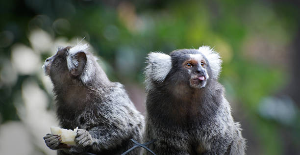 Two small monkeys (marmoset), one is sticking its tongue out Two small monkeys, one is sticking its tongue out (Brazil) marmoset stock pictures, royalty-free photos & images