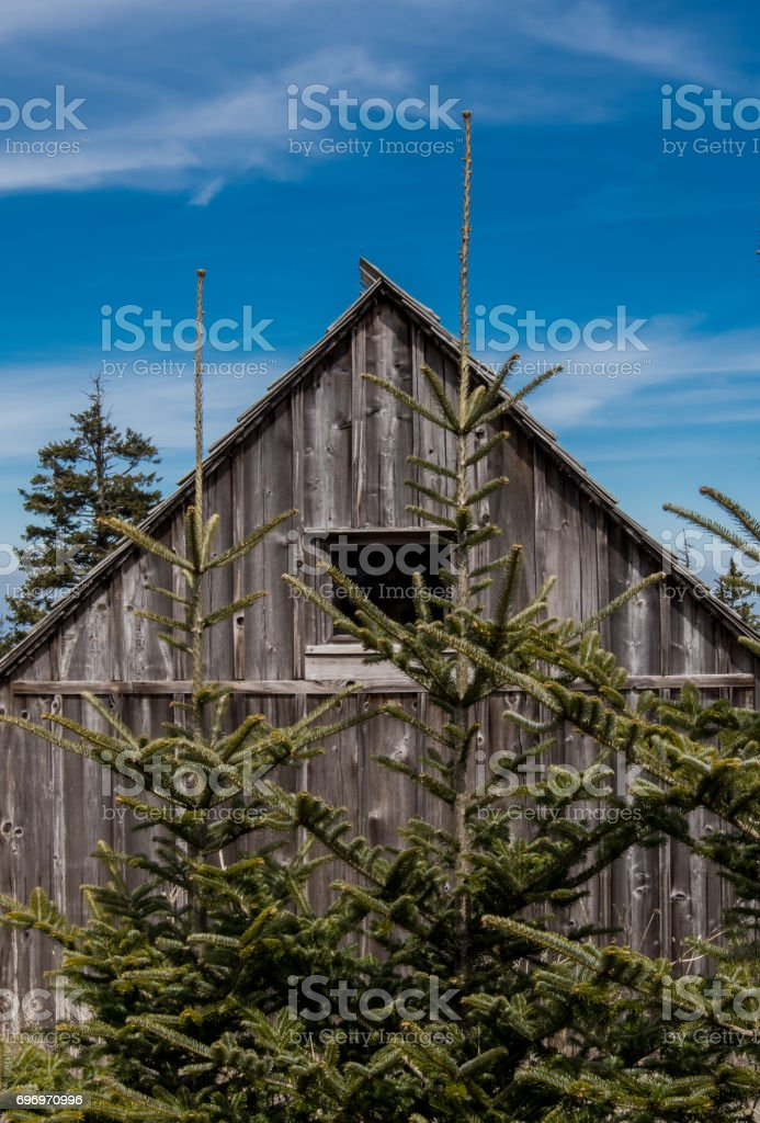 Two Small Pine Trees Grow Near Weathered Cabin stock photo