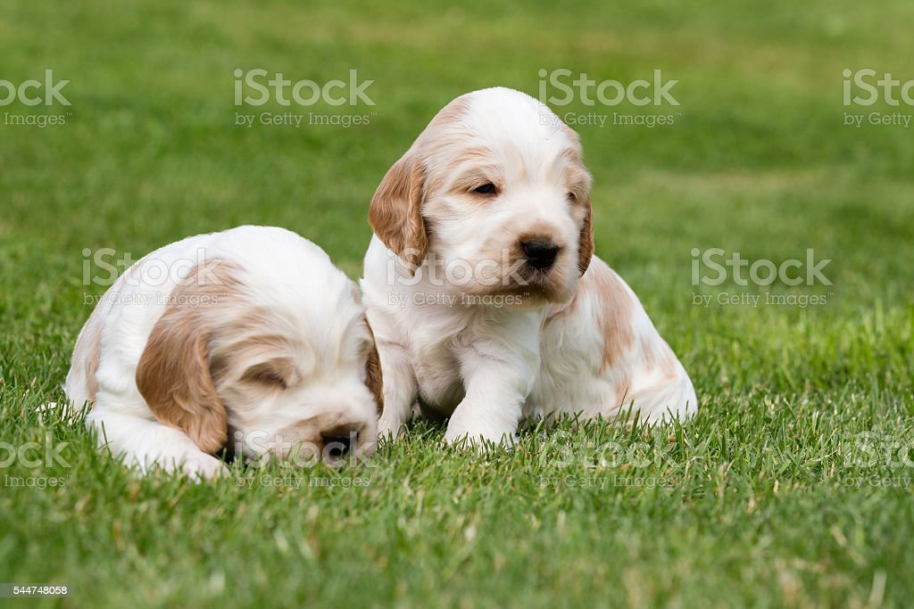 Two Small Purebred English Cocker Spaniel Puppy Stock Photo Download Image Now Istock