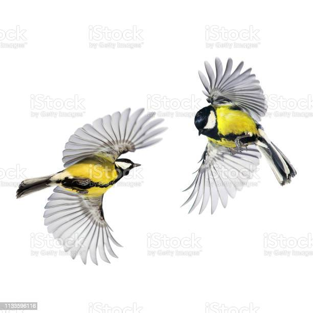 Two small songbirds tit fly widely spreading feathers and wings on a picture id1133596116?b=1&k=6&m=1133596116&s=612x612&h=ww5rn7k5idnvxs03hhzsvjgojn 1yk8rwk4alyrzbwa=