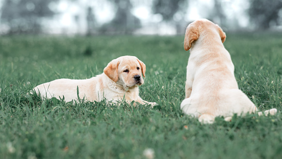 two small yellow Labrador puppy sitting on a green grass