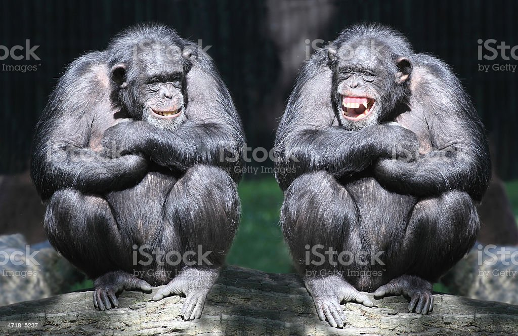 Two smiling chimpanzees sitting on a tree with arms crossed stock photo