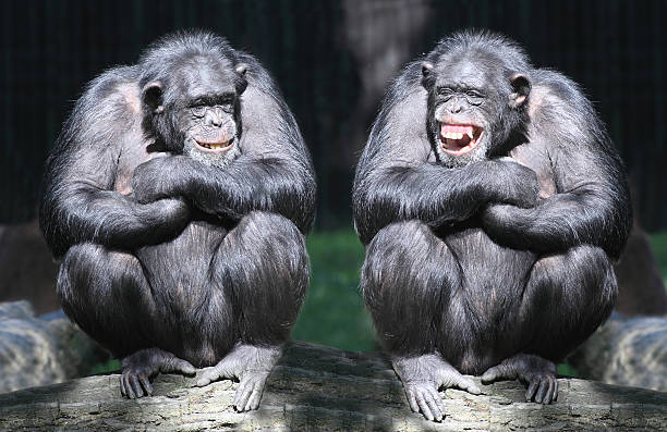 two smiling chimpanzees sitting on a tree with arms crossed - ape stock pictures, royalty-free photos & images