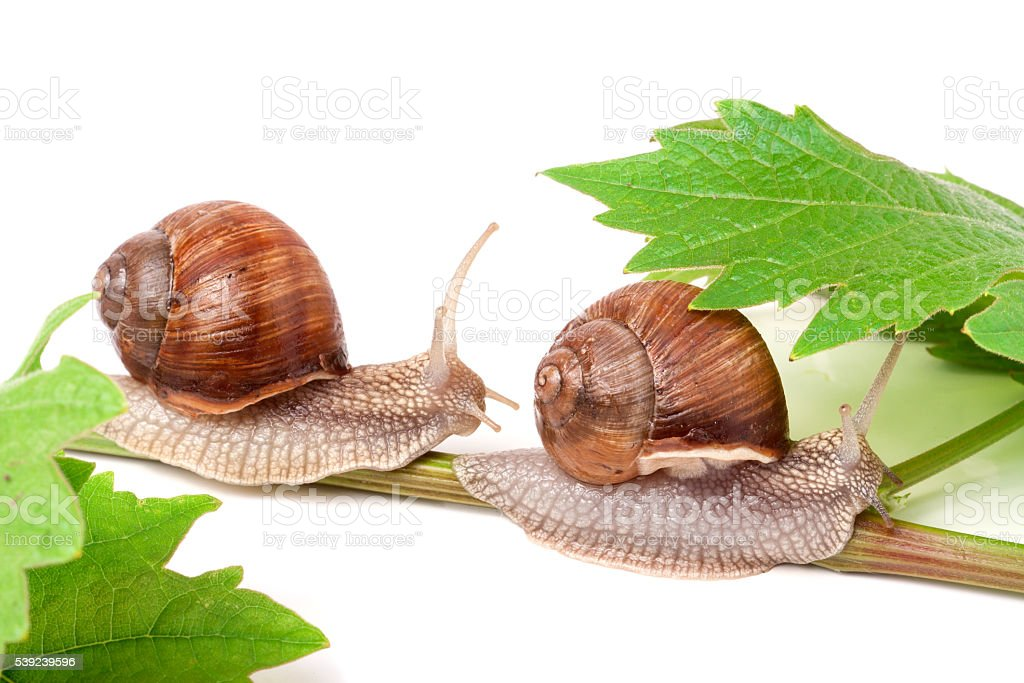 two snails crawling on the vine with leaf white background royalty-free stock photo