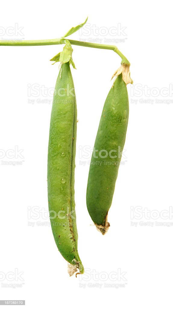 Two Snap Peas Hanging on the Vine royalty-free stock photo