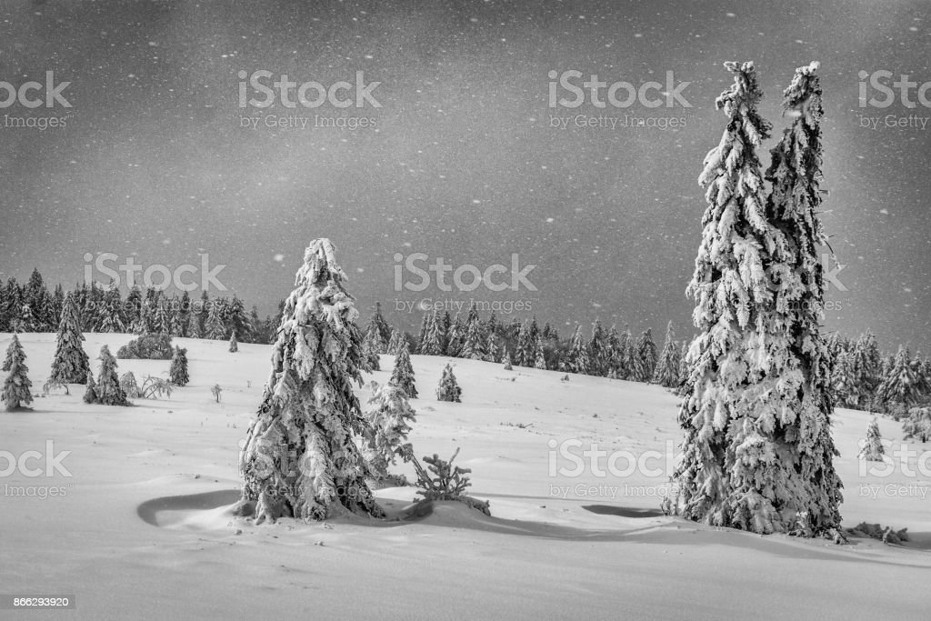 Two snow covered fir trees stock photo