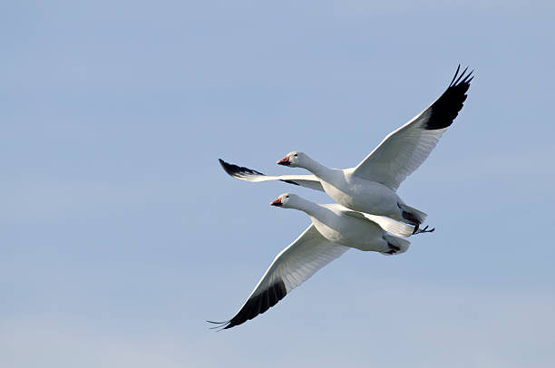 Two Snow Geese (Chen caerulescens) Flying in Formation stock photo