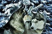 istock two snow-covered dogs of the Siberian Husky breed against the background of frosty fir trees 1302928751