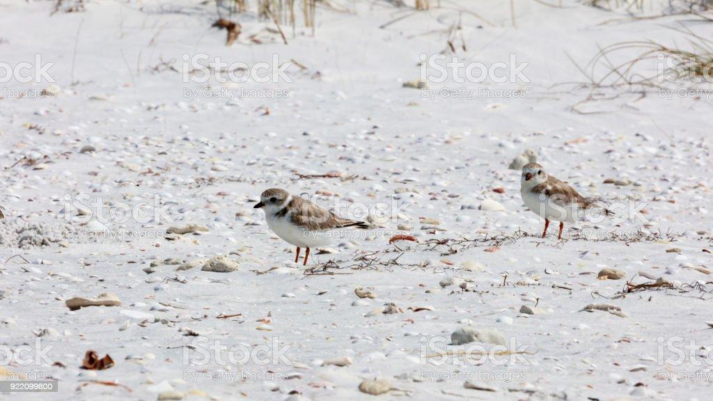 Two snowy plovers (Charadrius nivosus) on the beach, Florida, USA stock photo