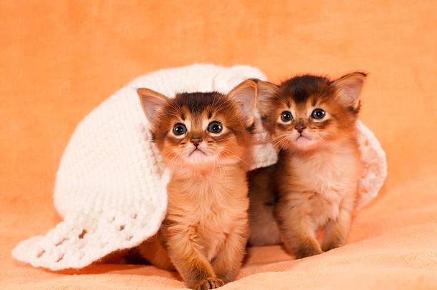 zwei somali-kätzchen in weißen hut - katzenhüte häkeln stock-fotos und bilder