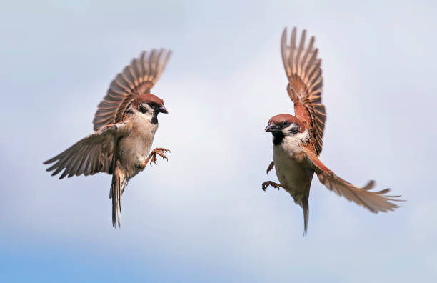 two Sparrow birds fly towards each other widely spreading their wings and feathers against the blue sky in the spring in the garden stock photo
