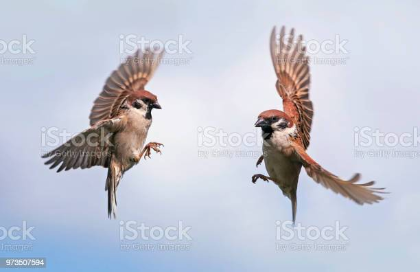Photo of two Sparrow birds fly towards each other widely spreading their wings and feathers against the blue sky in the spring in the garden