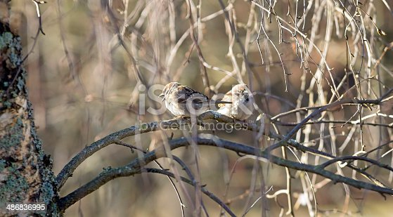 521620252istockphoto Two Sparrow Birds in the Wild 486836995