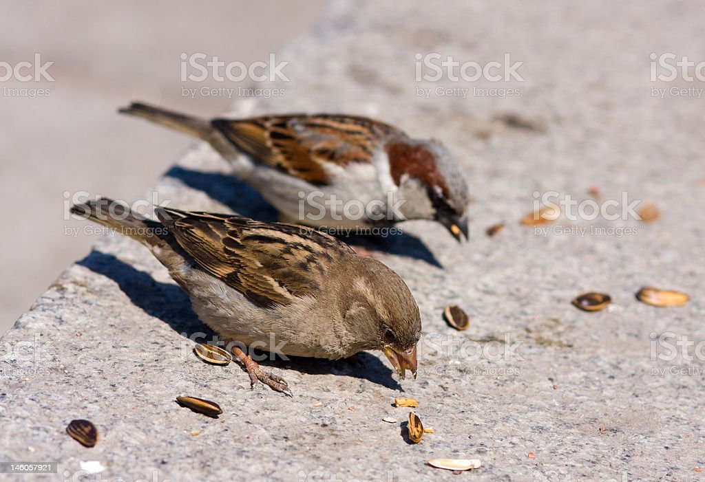 two sparrow eats sunflower seeds royalty-free stock photo