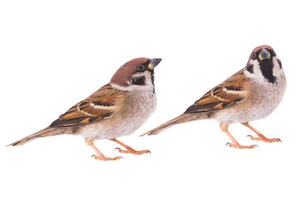 two sparrow stock photo