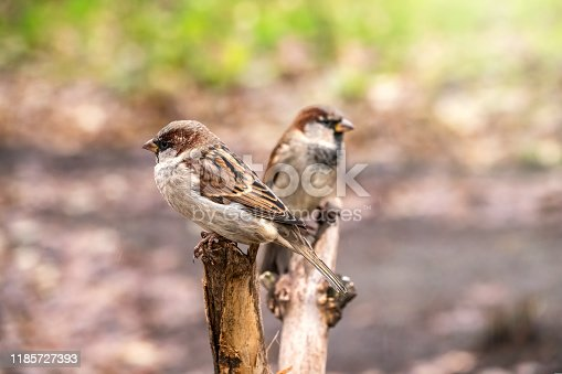 521620252istockphoto Two sparrows are sitting on a branch with a blurred background. 1185727393