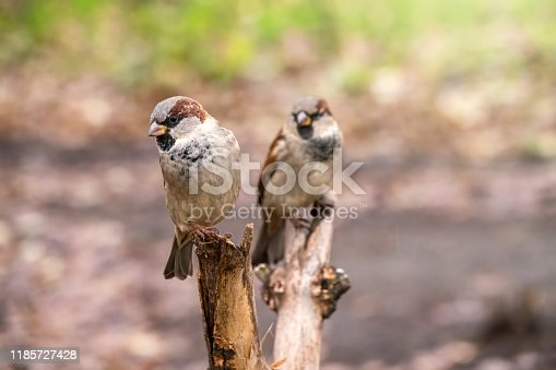 521620252istockphoto Two sparrows are sitting on a branch with a blurred background. 1185727428
