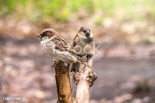 521620252istockphoto Two sparrows are sitting on a branch with a blurred background. 1185727452
