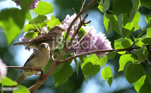521620252istockphoto Two sparrows in Lilac Tree 500392027