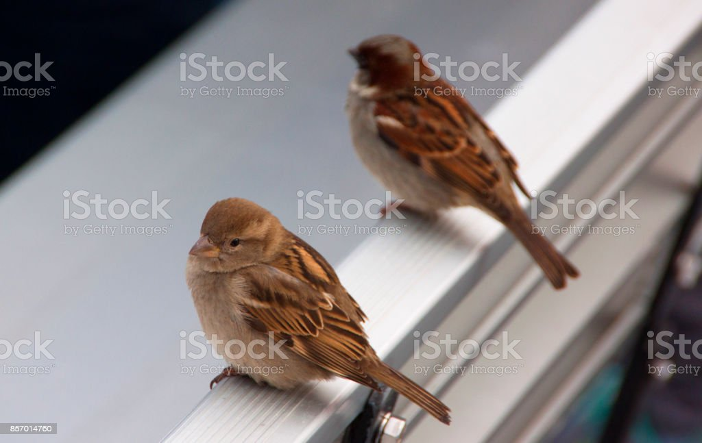 Two sparrows in the city stock photo
