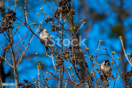 521620252 istock photo Two sparrows of the branch in park 983416512