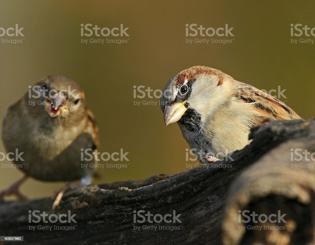 two sparrows on branch royalty-free stock photo