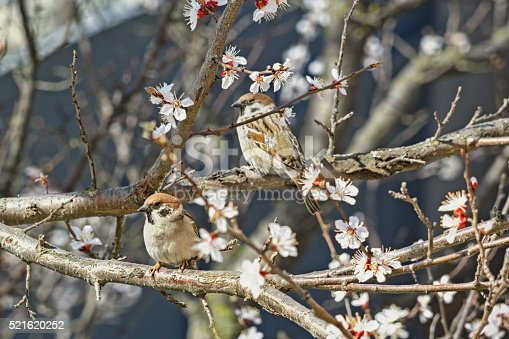 istock Two sparrows on flowering branches of apricot tree 521620252