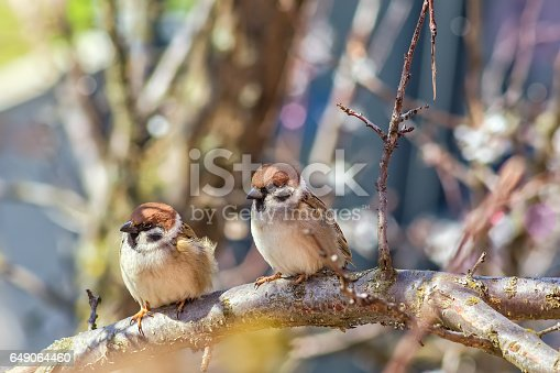 istock Two sparrows on flowering branches of apricot tree 649064460