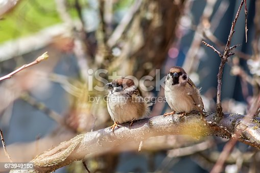 521620252 istock photo Two sparrows on the branches of apricot tree 673949160