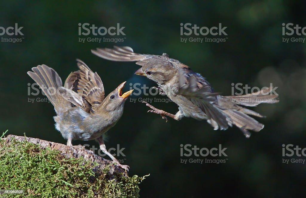 Zwei sparrows – Foto