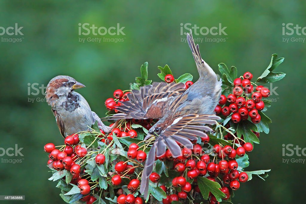 Two sparrows stock photo