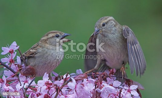 521620252istockphoto Two Sparrows 680150836