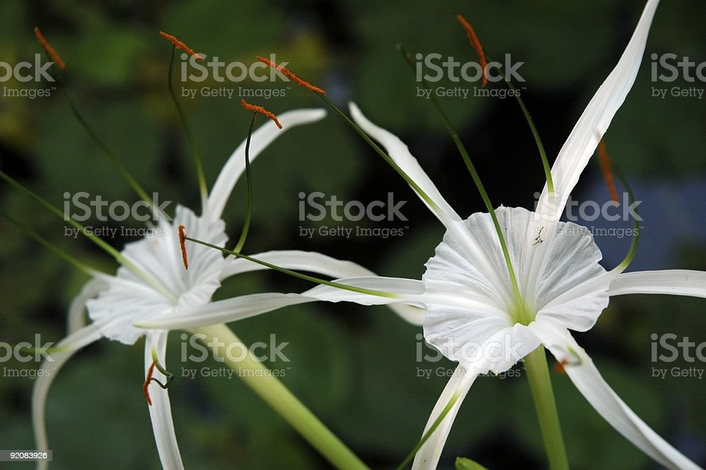 two spider lilies stock photo