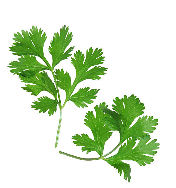 two sprigs of coriander on a white background - maydanoz stok fotoğraflar ve resimler