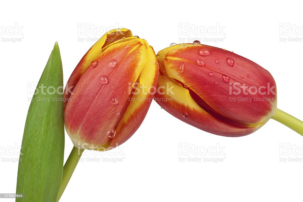 Two spring tulips royalty-free stock photo