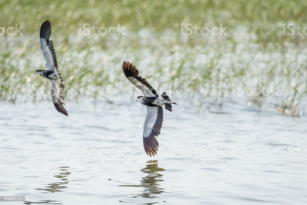 Two Spur-winged Lapwings in mid flight stock photo