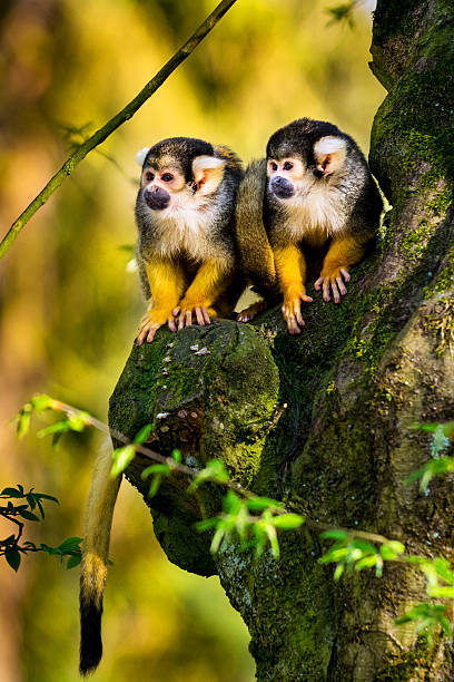 Two squirrel monkeys sitting on gnarly tree picture id521796540?b=1&k=6&m=521796540&s=612x612&w=0&h=9gfbzpzzgoa1hxff57x0t9spjbde2j5z n3oolpnxrc=