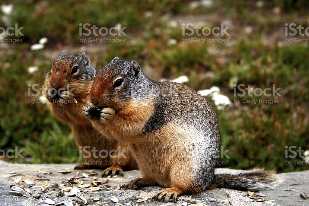 Two squirrels eat sunflower seeds royalty-free stock photo