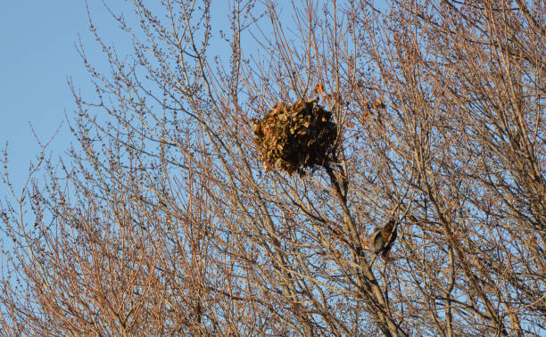 two squirrels in the tree under their nest in winter stock photo