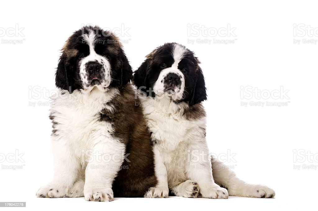 Two St Bernard puppies isolated on white stock photo