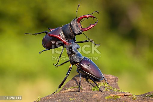 Two male stag beetles, lucanus cervus, contesting their power over territory on a sunny day in summer with green blurred background. Brown horned bugs fighting in nature.