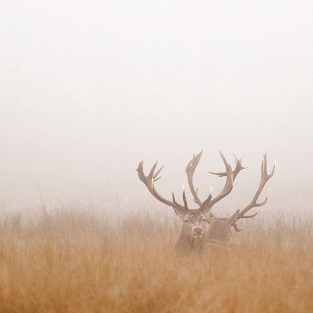 Two Stag Deer Resting in Field on Foggy Day stock photo