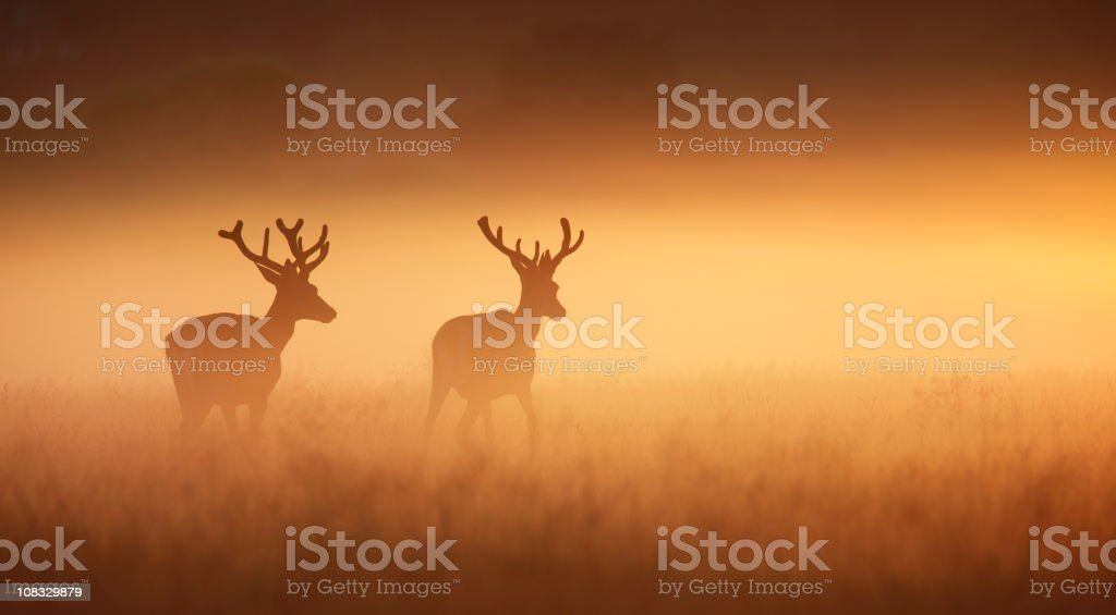Two stags royalty-free stock photo